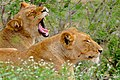 Lioness (Panthera leo) contagious yawning ... (33526113375).jpg