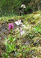 Lithophragma parviflorum (smallflower woodland star) - Flickr - brewbooks.jpg