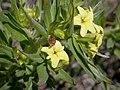 Lithospermum ruderale flower (3509479729).jpg