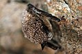 Little brown bat white-nose syndrome on muzzle, nose (5751822293).jpg