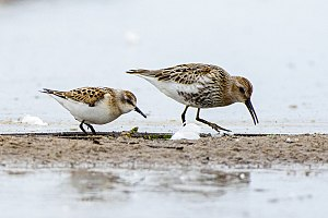 Little stint - Little stint (on the left) and dunlin in the mouth of the Reda river in Puck Bay in Poland.