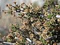 Littleleaf mountain mahogany, Cercocarpus intricatus (45555725395).jpg