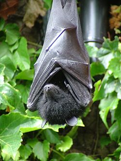 Livingstone's Fruit Bat.jpg