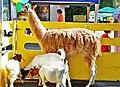 Llama and three little goats in tiny farm - panoramio.jpg