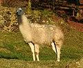 Llamas (32935568684).jpg
