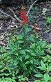 Lobelia cardinalis habit.jpg