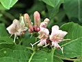 Lonícera tatarica flowers.jpg
