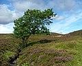 Lone Tree - geograph.org.uk - 315435.jpg