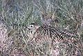 Long-billed Curlew on Nest (12820505673).jpg