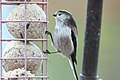 Long Tailed Tit - Feb 2010 (4377192036).jpg