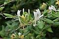Lonicera caprifolium ms 2.jpg