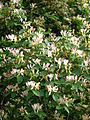 Lonicera sp. blooming 03.JPG