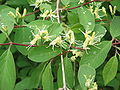 Lonicera xylosteum01.jpg