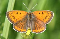 Lycaena dispar female Obersulm 20070718 5.jpg