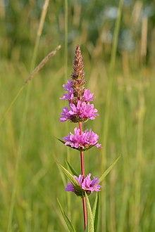 Lythrum salicaria - harilik kukesaba.jpg