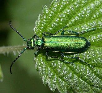 Spanish fly - Image: Lytta vesicatoria