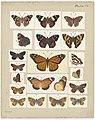 MA I437603 TePapa Plate-IV-The-butterflies full.jpg