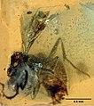 MNHNA30162 Haidomyrmodes mammuthus 02.jpg