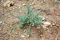 Ma-2200 (Lluc-Selva) - Euphorbia pithyusa 01 ies.jpg
