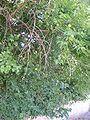 Maclura pomifera1.jpg