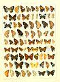 Macrolepidoptera15seit 0269.jpg