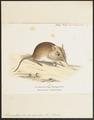 Macroscelides brachyrhynchus - 1700-1880 - Print - Iconographia Zoologica - Special Collections University of Amsterdam - UBA01 IZ20900075.tif