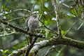 Madagascar Sparrowhawk - Andasibè - Madagascar S4E7858 (15102515088).jpg