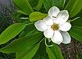 Magnolia virginiana.jpg