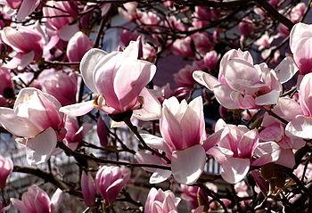 English: magnolia