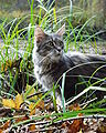 Maine Coon female blue-cream-tabby.jpg