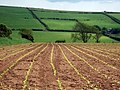 Maize field near Brimaston - geograph.org.uk - 457302.jpg