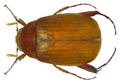 Maladera mollis (Walker) (8444925122).png