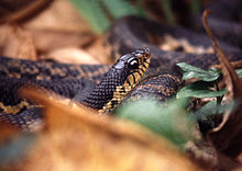 Madagaskarin jättiläinen hognose-käärme (Leioheterodon madagascariensis) 1.jpg