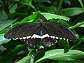 Male Common Mormon butterfly at the Niagara Parks Butterfly Conservatory, 2010 A.jpg