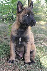 Malinois (Belgian Shepherd Dog) - Wikipedia, the free encyclopedia