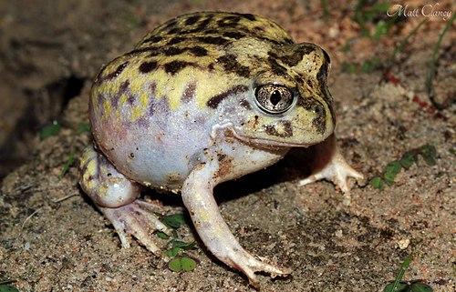 500px mallee spadefoot toad (neobatrachus pictus) (8745696827)