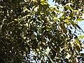 Mallotus philippensis5237.jpg