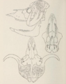 Mammals of northern Alaska on the Arctic slope (1956) Ovibos moschatus skull.png