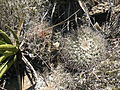 Mammillaria melanocentra (5729781410).jpg