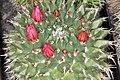 Mammillaria sartorii pm 1.JPG