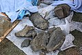 Mammoth bones found at OSU expansion of Valley Football Center - Bones.jpg