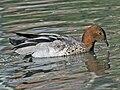 Maned Duck (Chenonetta jubata) RWD.jpg