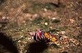 Mangrove Crab (Id ?) (36445135330).jpg