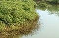 Mangrove swamp at Pudimadaka of Visakhapatnam district 01.jpg