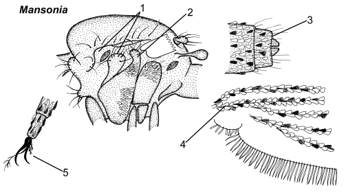 Mansonia thorax parts.png
