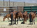 Mares and foals delivered to PVC 6-13 (7370032116).jpg