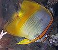 Margined coralfish (Chelmon marginalis).jpg