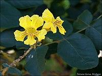 Markhamia obtusifolia 3.jpg