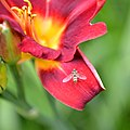 Marmalade hoverfly (Episyrphus balteatus) (20000557581).jpg