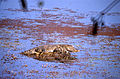 Marsh Crocodile (Crocodylus palustris) (20037319123).jpg